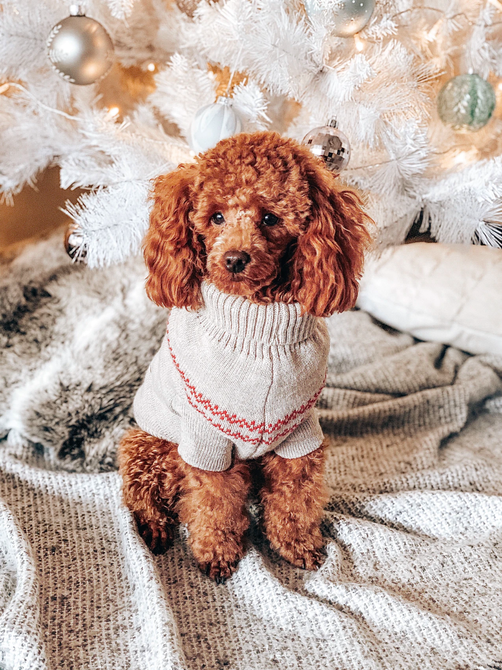Brown Toy Poodle With White And Red Costume Photo Free Dog Image On Unsplash Brown Toy Poodle Poodle Puppy Toy Poodle Puppy