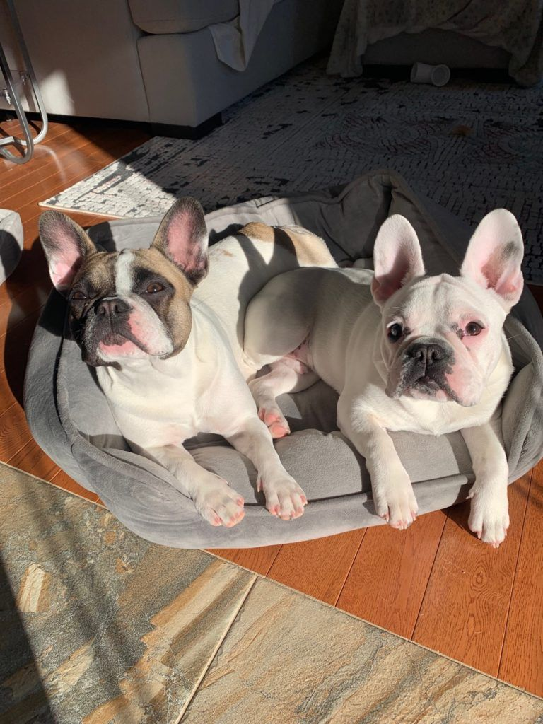 Funny And Cute Frenchies French Bulldog Frenchie Funny