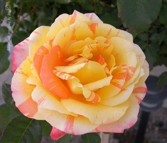 Tropical Sunset Rose