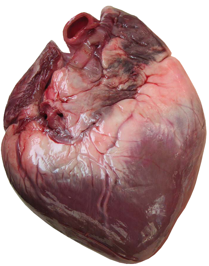 the human heart is a 4-chambered heart; each half of the heart, Human Body