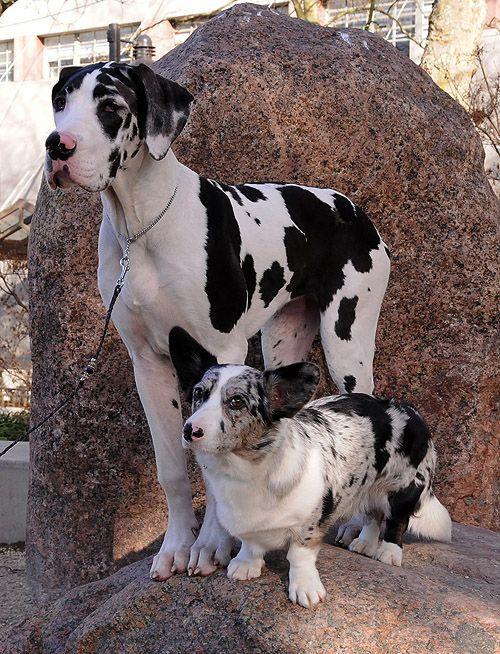 Cardigan Corgi And Great Dane