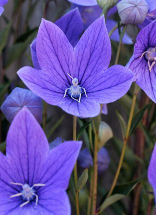 Platycodon Grandiflorus Chinese Bellflower Balloon Flower Balloon Flowers Virtual Flowers Indoor Flowering Plants