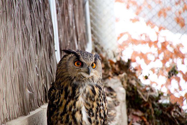 owl in Alpenzoo, Innsbruck  more on http://trans-pond.blogspot.com