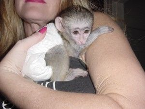 amazing capuchin monkeys for rehoming Addison, IL