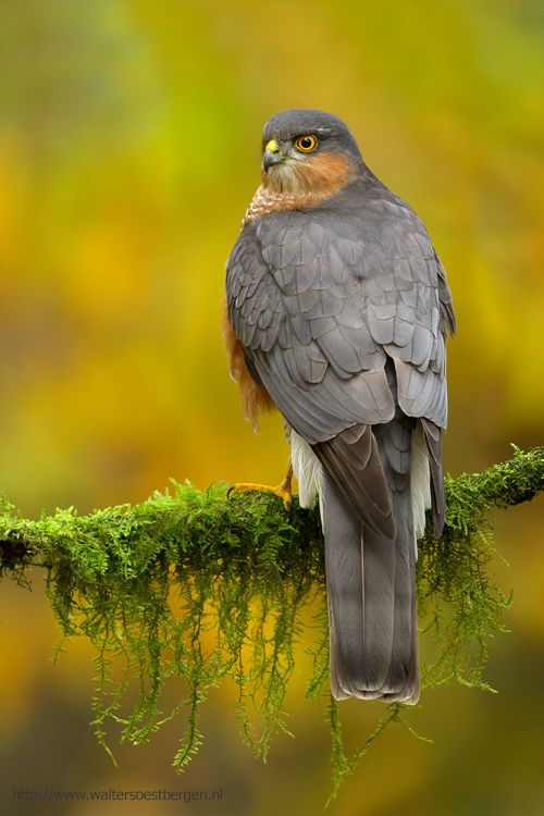Épervier d'Europe // Sperber // Gavião-Da-Europa ou Fura-Bardo // Eurasian Sparrowhawk (Accipiter Nisus) © Walter Soestbergen #rapace #aves #accipitridae #accipitriformes #oiseaux_de_proie #birds_of_prey
