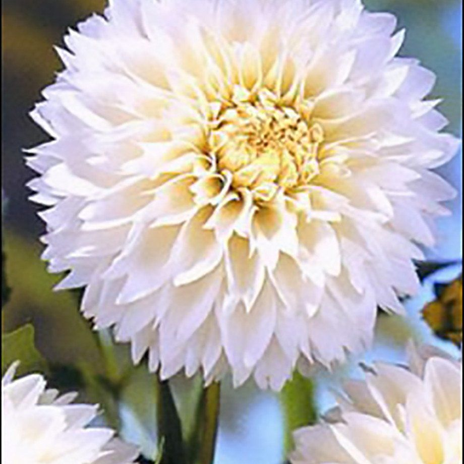 Allium Ampeloprasum Spanish Allium Dahlia and Wedding