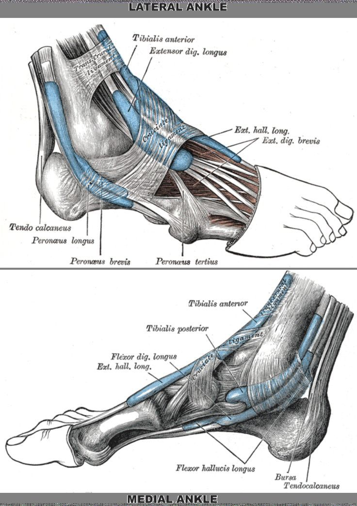 Ligaments Of The Foot | holes into the the small interosseous ...