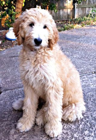 How Reese Should Be Groomed Goldendoodle Haircuts Goldendoodle