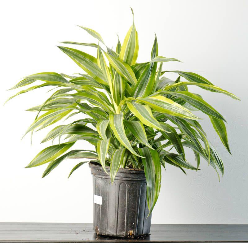 Top 10 Plants For An Indoor Vertical Garden Dracaena 640 x 480