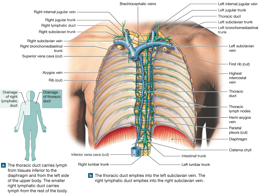 221 The Vessels Tissues And Organs Of The Lymphatic System