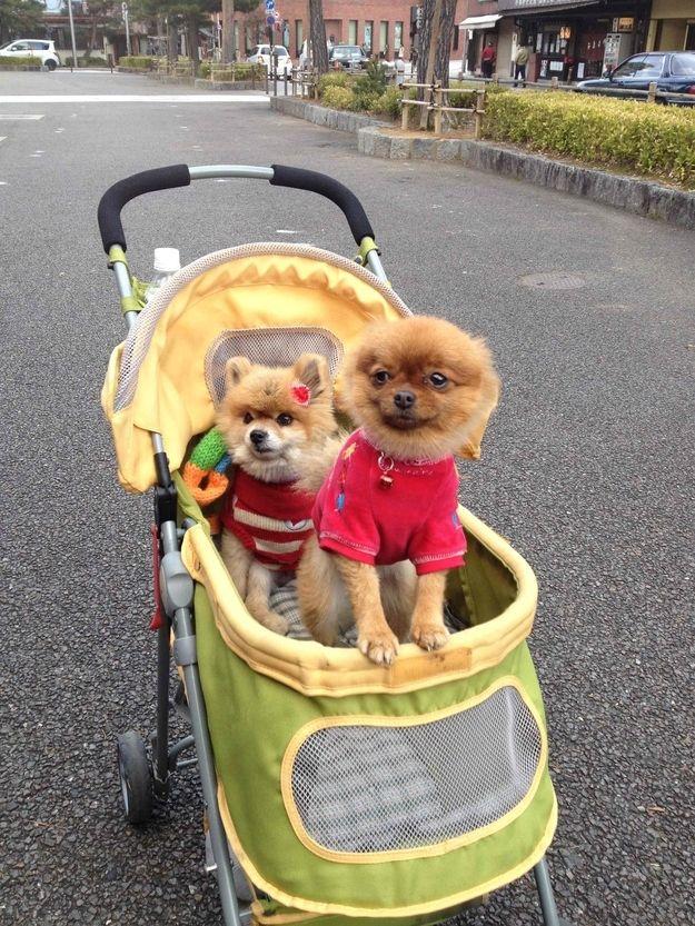Pin on Dog Stroller Duo