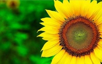 How to Grow Sunflowers On Your Homestead
