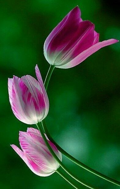 Gül #Blumen #Blumen #Rose #Rosen ▓⃢⃢⃢⃢▓ – #Blumen #Blumen