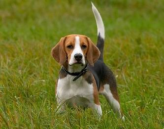 This May Be The Most Beautiful Beagle I Ve Ever Seen Beagle