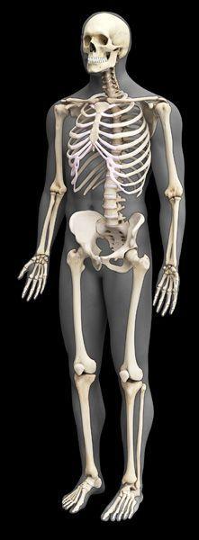 Arm (right and left) Clavicle Scapula Humerus Radius Ulna ...