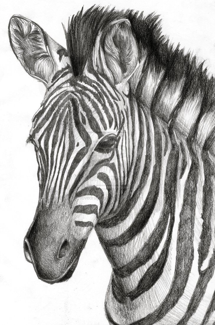 A zebra drawing I drew for a friend's graduation present ...