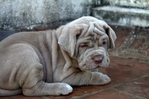Blue Mastiff Puppy With Images