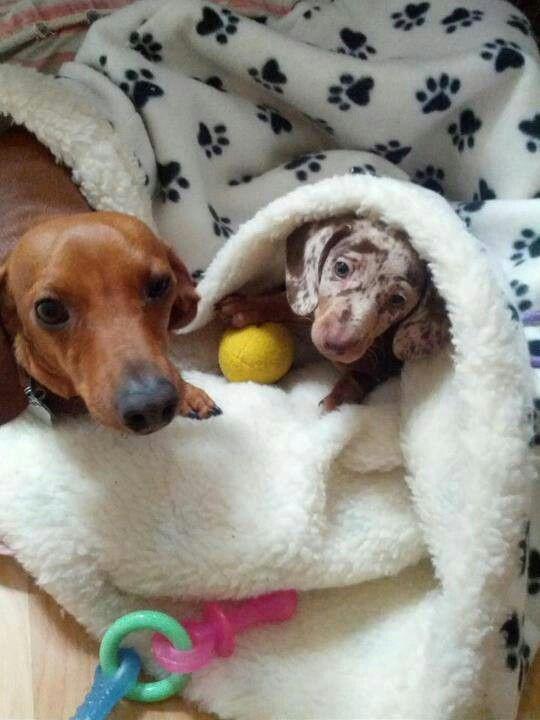 So Cute Gustav S Dachshund World And Friends Cute Animals