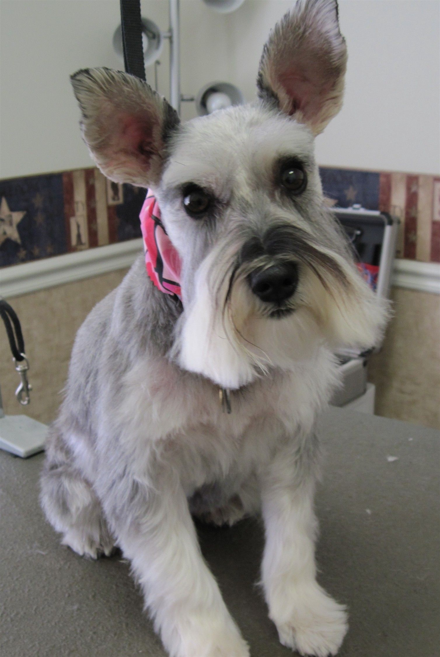 Miniature Schnauzer Another Cute Breed I D Love To Adopt Beautiful Dogs Love Pet Cute Animals