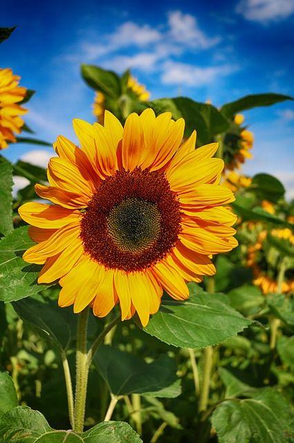 Sun Flower, Bloem, Bloesem, Zomer, Veld, Gele
