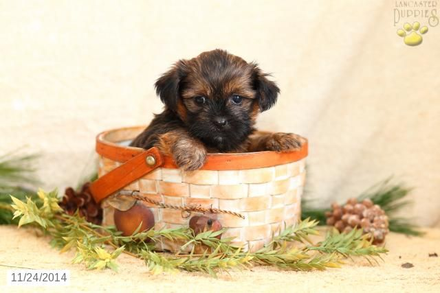 Shorkie Puppy For Sale In Pennsylvania Shorkie Puppies Shorkie