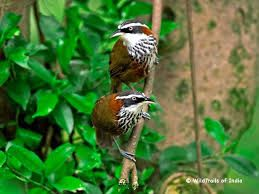Image result for kerala birds (With images)   Wildlife ...