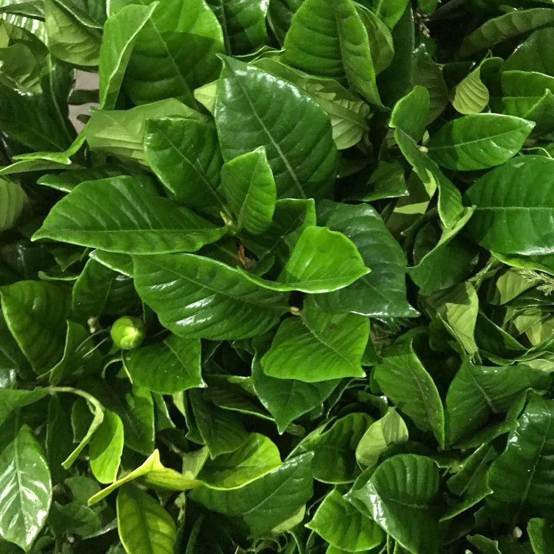 This Gardenia Foliage Is So Green And So Shiny And Look There