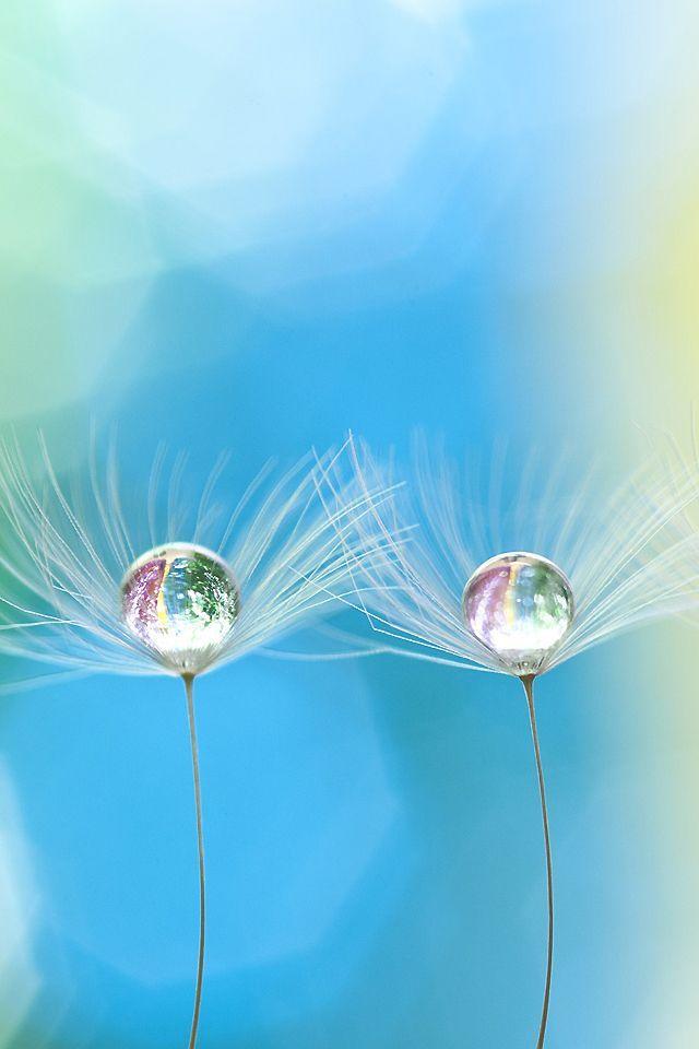 Droplet On Dandelion Waterfotografie