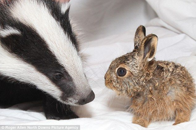 Image result for badger and rabbit