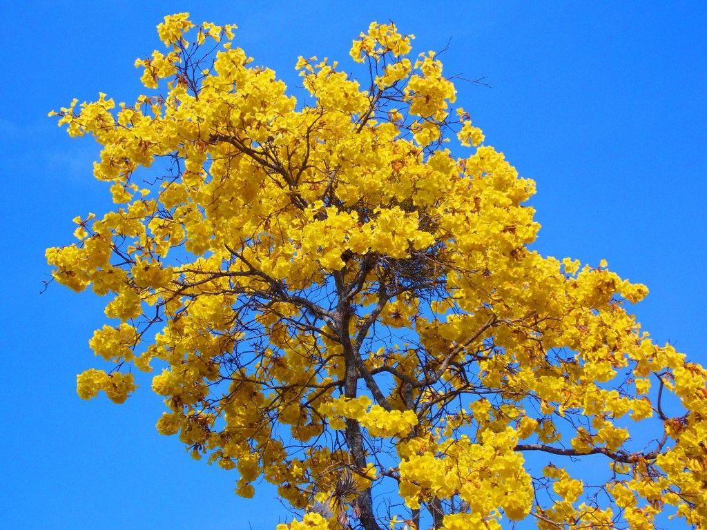 Um ipê amarelo, acho que daqui de casa, acho, mas nunca tenho a certeza