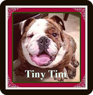 Tiny Tim A Breeder Boy Who Came From A Puppy Mill As Part Of