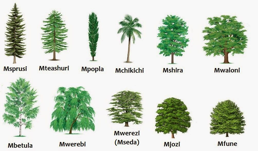 Types Of Trees Google Search Tree Cactus Plants Tree Art