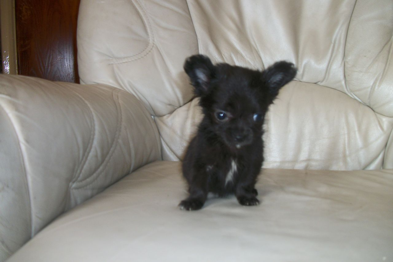 Black And Black And White Chihuahua Puppies Pets For Sale Uk Pet