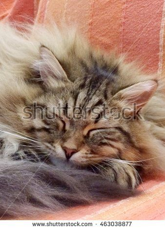 Beautiful Cat sleeping on the sofa #new on @shutterstock #image #pet #puppy #kitten #chat #gatos #gorgeouscats #cat #adorablecats