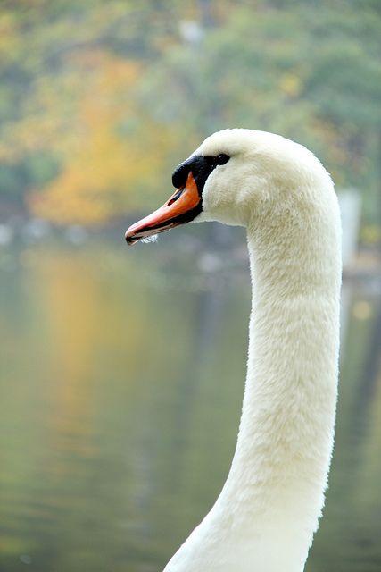 Swan | Flickr - Photo Sharing!