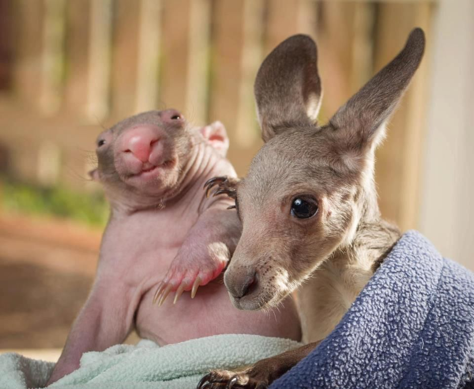 Adorable; rescued baby wombat and kangaroo...