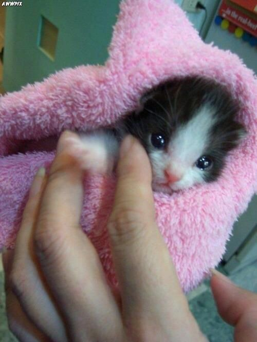 Black White Kitten Wrapped In Pink Baby Cats Kittens Cutest