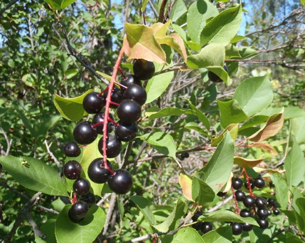 Chokecherry leaves and seeds are poisonous chokecherry