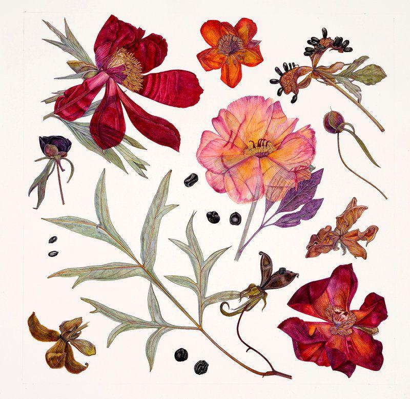 Charmant Peony Specimens   Rachel Pedder Smith   Kew Gardens Botanical Prints   Kew  Botanical Prints