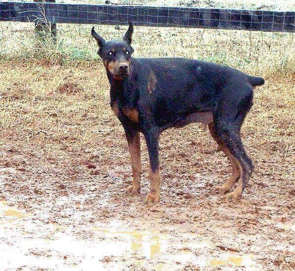 Breeder Review On Doberman Pinscher Puppy Puppies Puppy Mills