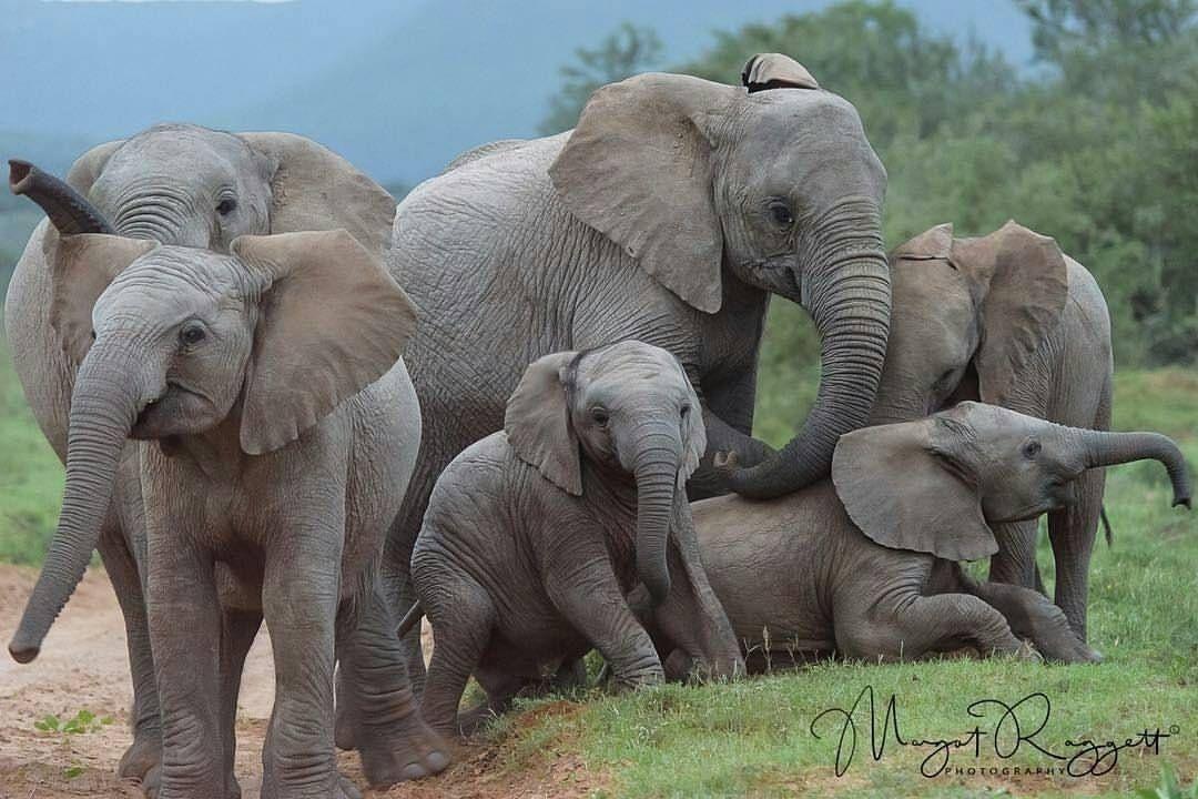 Pin de Theresa Sheridan en Elephants | Pinterest | Elefantes, El ...