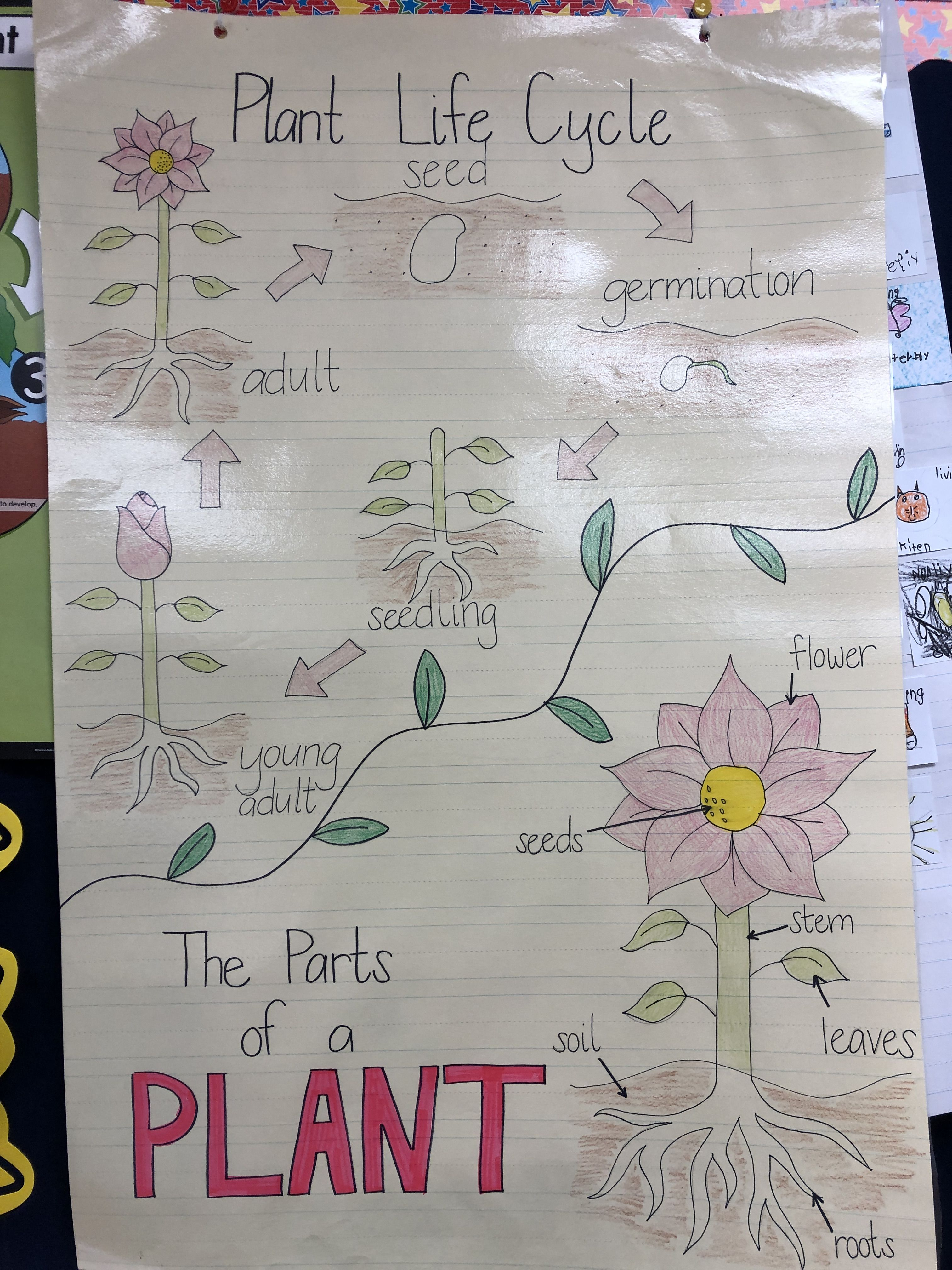 Life Cycle Of A Plant Plantlifecycle Kindergarten