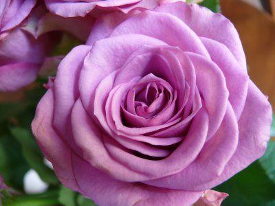 Hose pipe rose