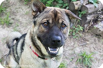 Adopted Kansas City Mo Norwegian Elkhound Shar Pei Mix