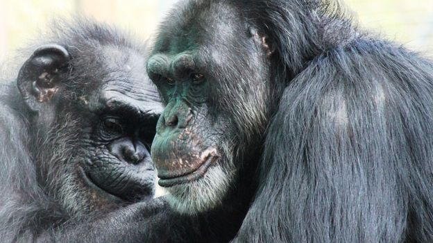 Two chimps groom each other at the Save the Chimps facility in Florida. The National Institutes of Health owns about 360 chimpanzees that aren't yet retired and that are living at research facilities; new guidelines say most of its chimps should be retired. I wish they were able to enjoy a chimp life..:(