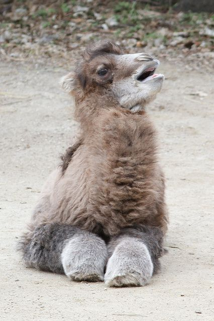 bebê camelo