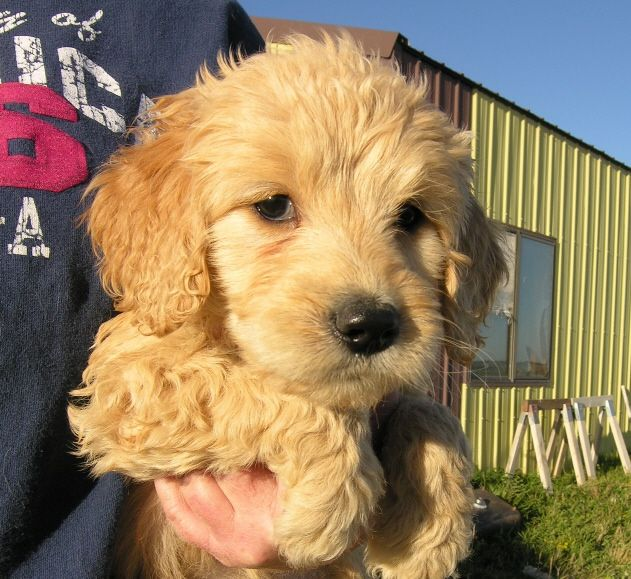 Puppies For Sale Goldendoodles In Frank Town Colorado