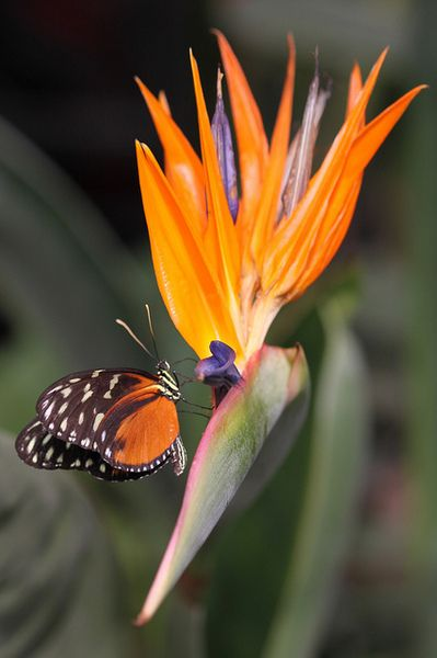 A Butterfly Nectaring On Bird Of Paradise Flower