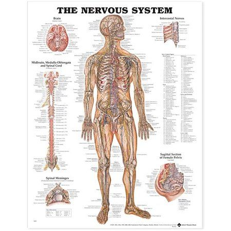 25+ The Nervous System Anatomical Chart Paperback, Multicolor