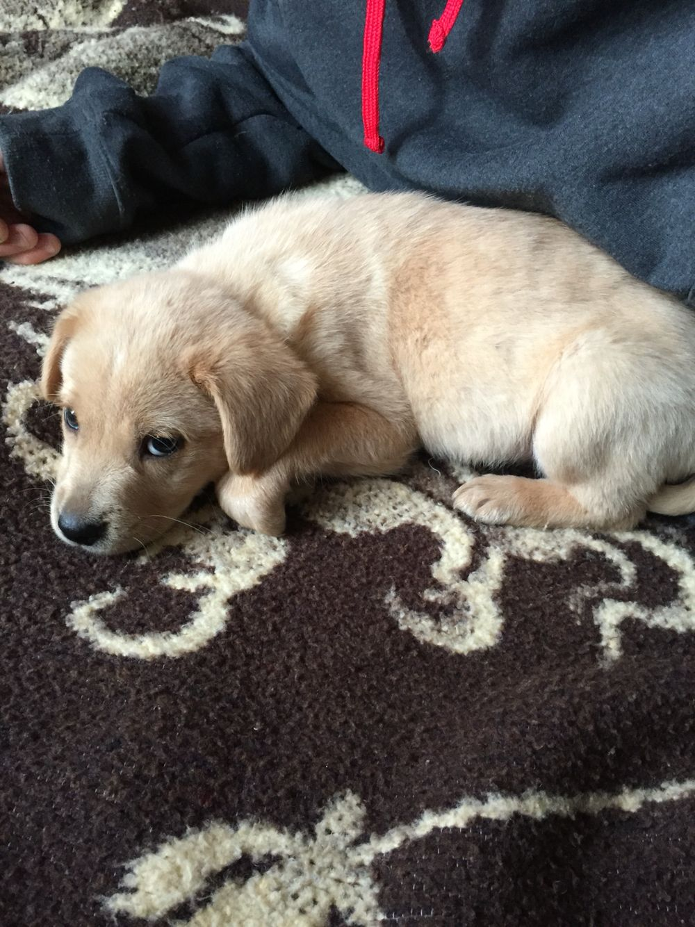 Meet Max An 8 Week Old Yellow Lab Border Collie Mix We Rescued Him Before Going To A Breeder Please Consider Re Dogs And Puppies Border Collie Mix Puppies